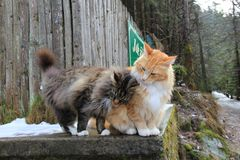 Maine Coon Cats family. Two Maine Coon Cats near river Vydra, National Park Sumava, Czech Republic Royalty Free Stock Image