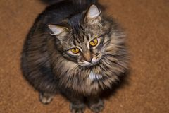 Maine coon cats of gray coloring royalty free stock image