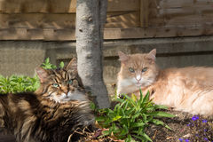 Maine Coon cats lying in the garden shade Stock Image