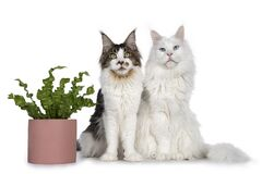 Maine Coon cats with plant on white background