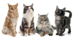 Maine coon cats Stock Photos