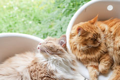 Maine-coon cats relaxing Royalty Free Stock Photos