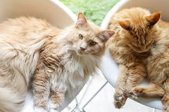 Maine-coon cats relaxing Stock Image