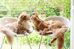 Maine-coon cats relaxing Royalty Free Stock Photography