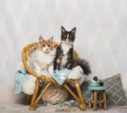 Maine coon cats sitting on chair in studio, portrait. On white Stock Photos