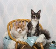 Maine coon cats sitting on chair in studio, portrait. On white Royalty Free Stock Images