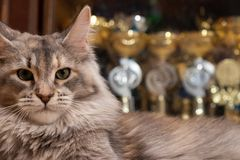 Maine Coon champion on the background of cups cat show winners. Cat color: black tortie silver ticked tabby fs 25 royalty free stock photos