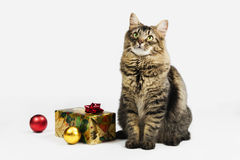 Maine Coon Christmas Cat Is Waiting for Santa Claus Royalty Free Stock Photos