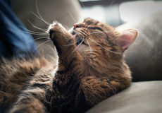 Maine coon cleaning itself Stock Photo