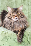 Maine Coon close up Stock Photos