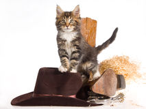 Maine Coon with cowboy gear Stock Image