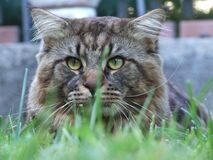 Maine Coon - Creative Commons by gnuckx Royalty Free Stock Image