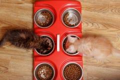 Maine Coon-de katjes eten droog voedsel van ijzerkommen royalty-vrije stock foto