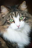 Maine coon domestic cat Royalty Free Stock Image
