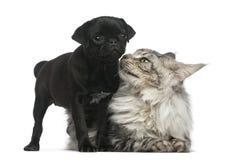 Maine Coon en Pug puppy Royalty-vrije Stock Foto's