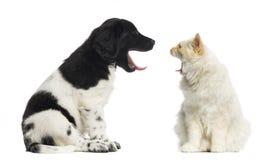 Maine Coon en Stabyhoun die bij elkaar geeuwen Stock Fotografie
