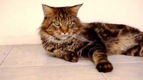 Maine Coon ennegrece el gato de gato atigrado con el ojo verde que miente encendido almacen de video