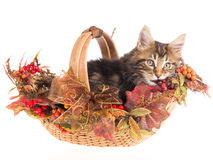 Maine Coon in Fall Autumn basket Royalty Free Stock Photo