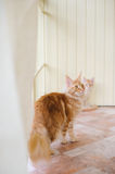 Maine coon family Stock Image