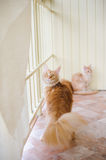 Maine coon family Royalty Free Stock Photo