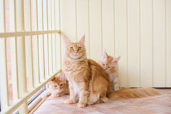 Maine coon family Royalty Free Stock Image