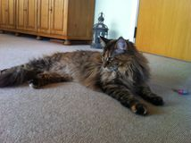 maine coon female cat Royalty Free Stock Photo
