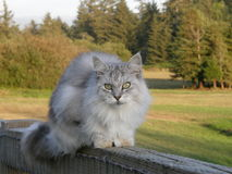 Maine Coon on a fence Stock Images
