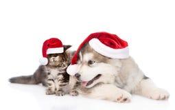 Maine coon figlarka i alaskiego malamute szczeniak w czerwonych Santa kapeluszach Odizolowywający na bielu Obrazy Royalty Free