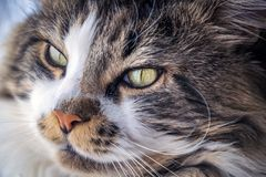 Maine coon, in the foreground, adult, by the window stock images