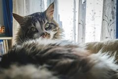 Maine coon, in the foreground, adult, by the window royalty free stock image