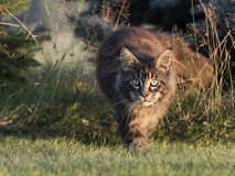 Maine coon on the forest ground Royalty Free Stock Images