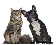 Maine coon and French Bulldog sitting next to each other Stock Photo
