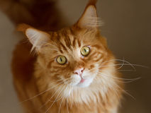 Maine Coon. Ginger Maine Coon with green eyes Royalty Free Stock Photography