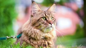 Maine coon on grass in garden. Black tabby maine coon cat with leash in backyard. Young cute male cat wearing a harness. Pets walking outdoor adventure on green stock video