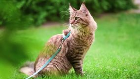 Maine Coon on grass in garden. Black tabby Maine Coon cat with leash in backyard. Young cute male cat wearing a harness. Pets walking outdoor adventure on green stock footage