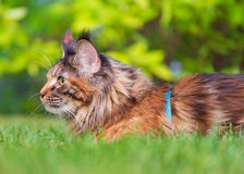 Maine Coon on grass in garden Royalty Free Stock Image