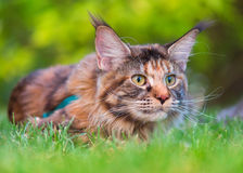 Maine Coon on grass in garden. Tortoiseshell Maine Coon cat with leash in backyard. Young cute female cat wearing a harness. Pets walking outdoor adventure on Stock Photos