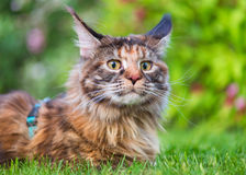 Maine Coon on grass in garden Stock Photography
