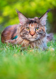 Maine Coon on grass in garden. Tortoiseshell Maine Coon cat with leash in backyard. Young cute female cat wearing a harness. Pets walking outdoor adventure on Stock Images