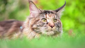 Maine Coon on grass in garden. Tortoiseshell Maine Coon cat with leash in backyard. Young cute female cat wearing a harness. Pets walking outdoor adventure on stock footage