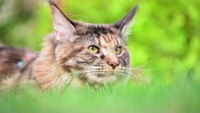 Maine Coon on grass in garden. Tortoiseshell Maine Coon cat with leash in backyard. Young cute female cat wearing a harness. Pets walking outdoor adventure on stock video