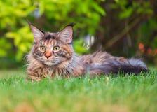 Maine Coon on grass in garden Stock Photos