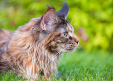 Maine Coon on grass in garden royalty free stock photos