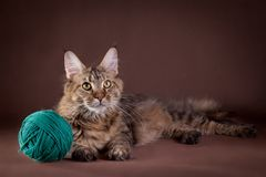 Maine Coon on a gray background. Beautiful Maine Coon on a gray background stock photos