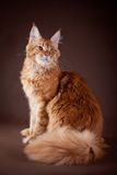 Maine Coon on a gray background. Beautiful Maine Coon on a gray background royalty free stock photos