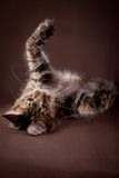 Maine Coon on a gray background. Beautiful Maine Coon on a gray background stock photo