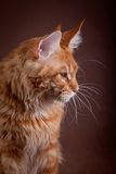 Maine Coon on a gray background Royalty Free Stock Photos