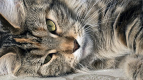 Maine Coon. Head maine coon close up royalty free stock images