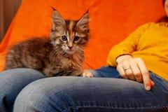Maine Coon-het katje zit op de overlapping van een vrouw stock fotografie