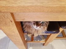 Maine coon hiding. Maine coon cat peeping out from under wooden dining room table Royalty Free Stock Photos